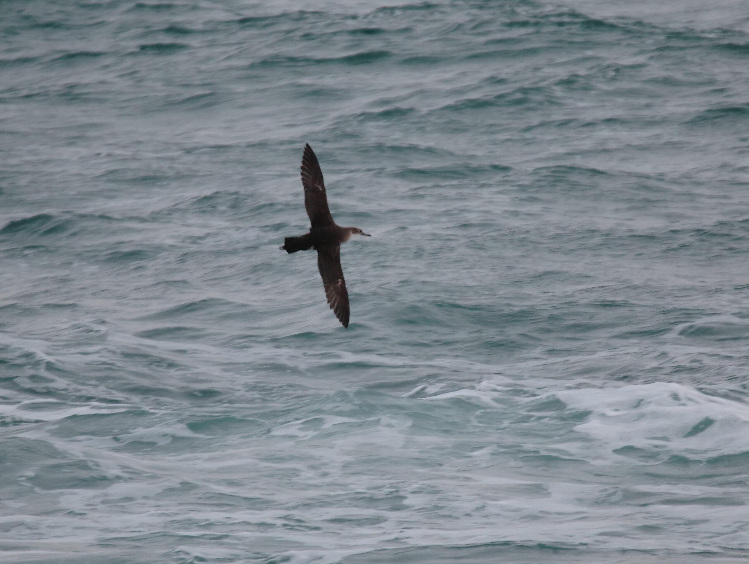 Birding tour Valencia-Balearic shearwater