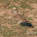 Great Bustard Tour-Dotterel
