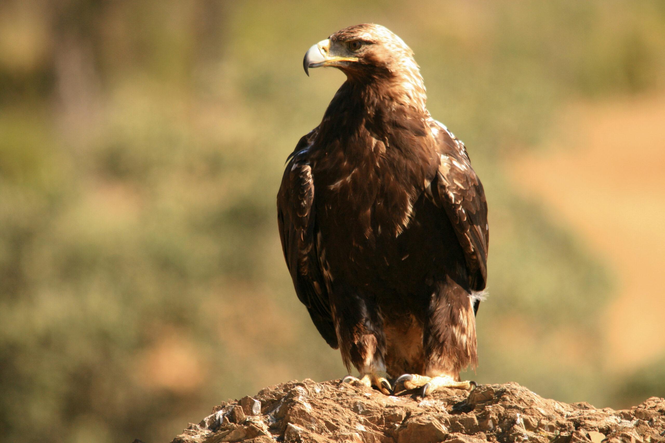 Golden Eagle hide Spain