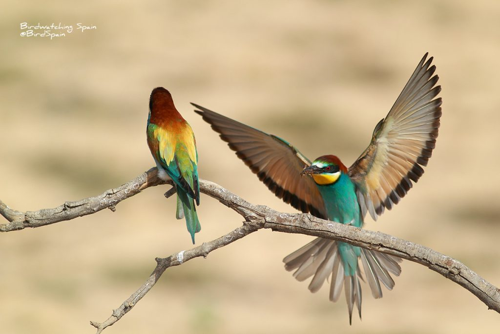 Bee-eater photography hide Spain