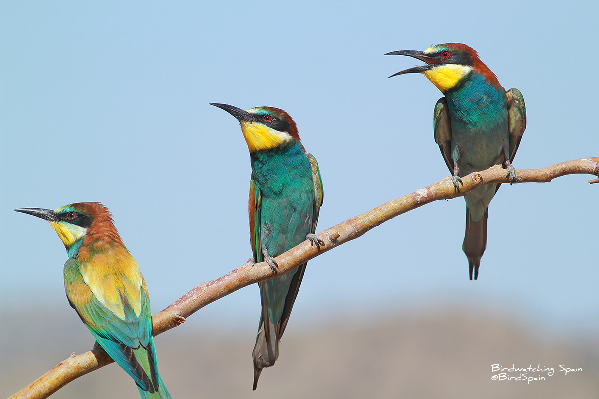 bee eater in alicante