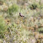 Dartford Warbler-Bird watching Gandia