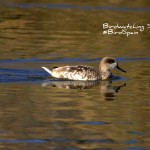 Marbled Duck-Bird watching La Mancha