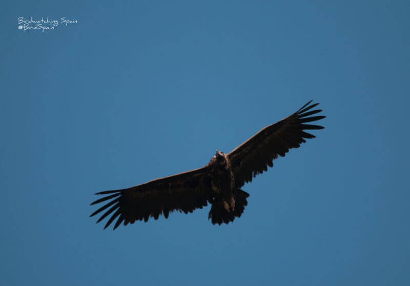 Black vulture in Andújar