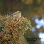 Bird watching cazorla-Firecrest