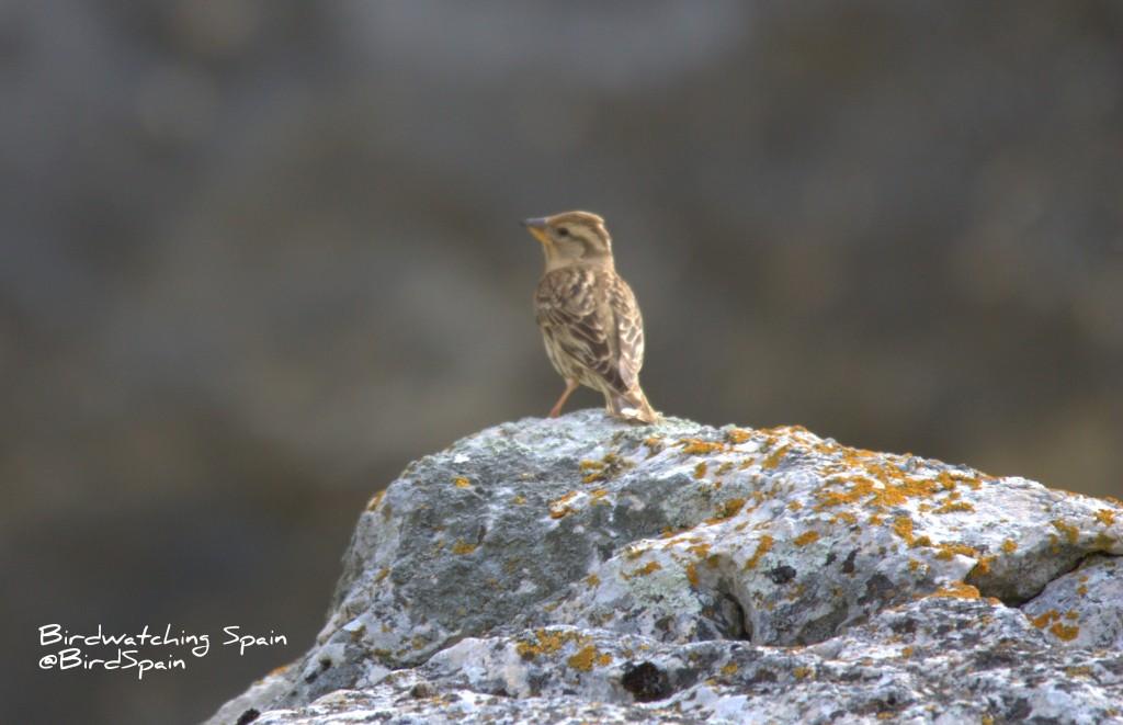 Rock Sparrow-La Mancha