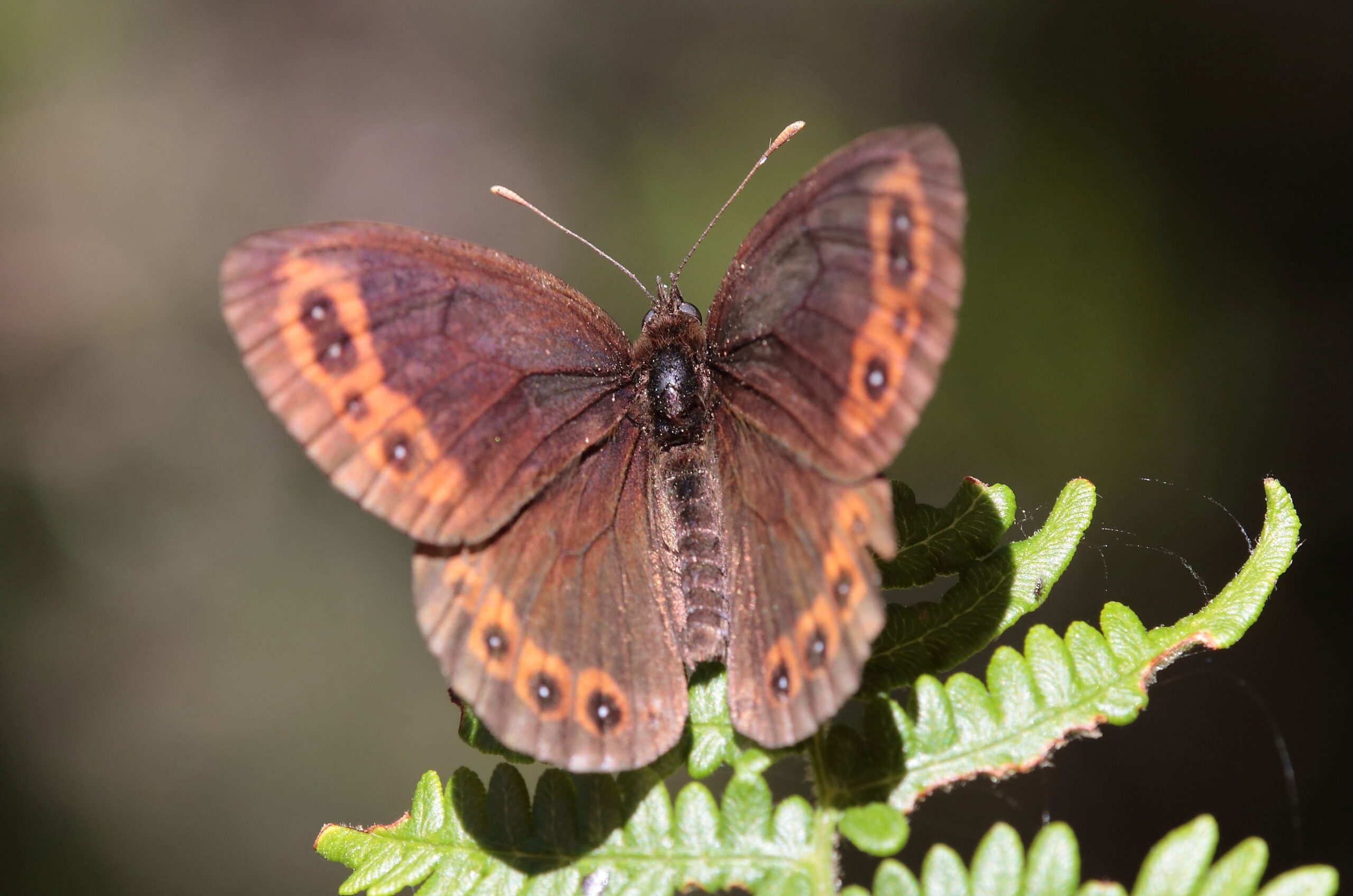 Buterfly in the Cantabrian mountains