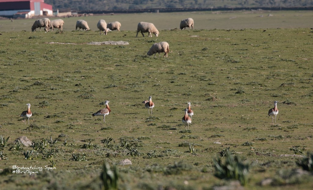steppe birds in Valencia