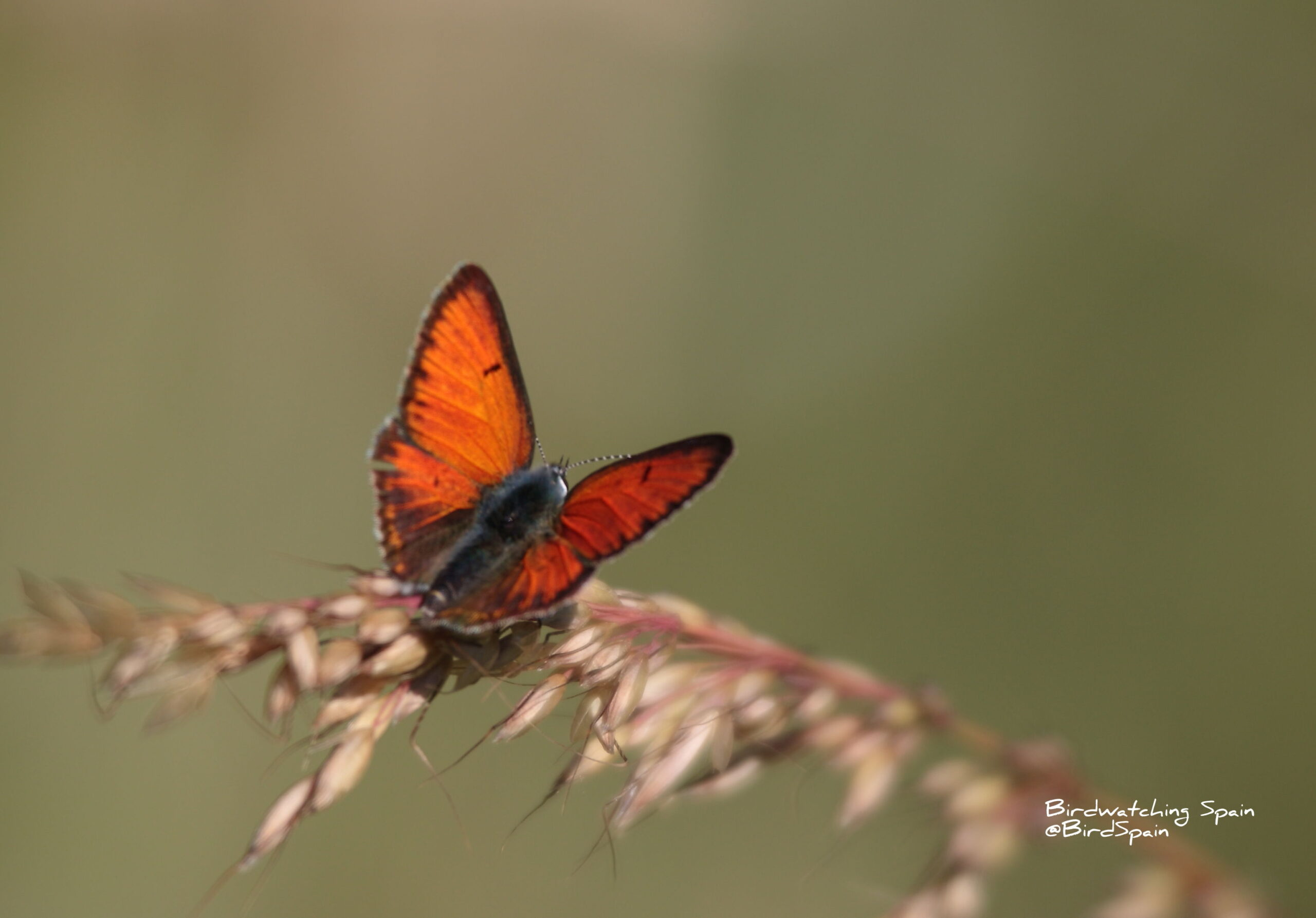 Buterfly in Cantabrian mountains
