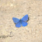 Adonis Blue-Birdwatching trip report La Mancha