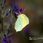 Cleopatra butterfly-Birdwatching trip report La Mancha