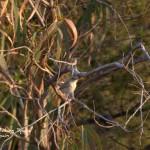 Rufous tailed Scrub Robin-birding trip Alicante