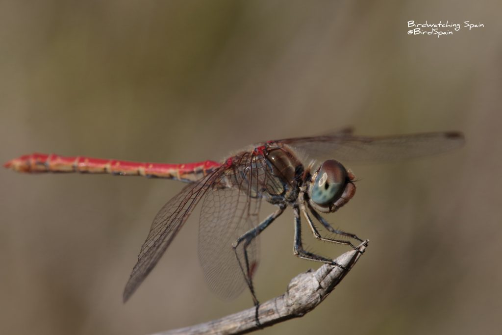 Dessert darter-dragonfly tours