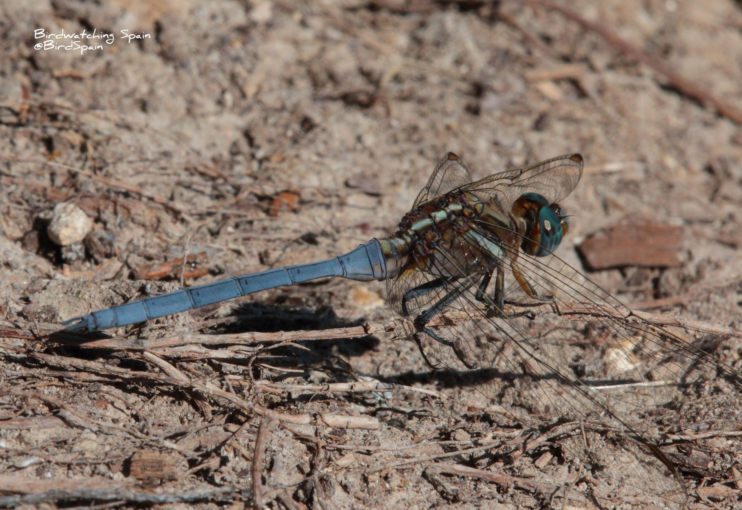 epaulet skimmer-dragonfly tours in Spain