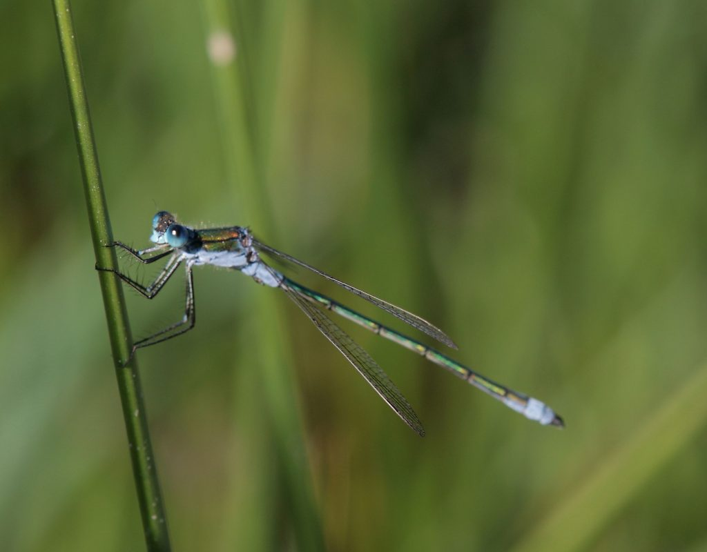Robust spreadwing