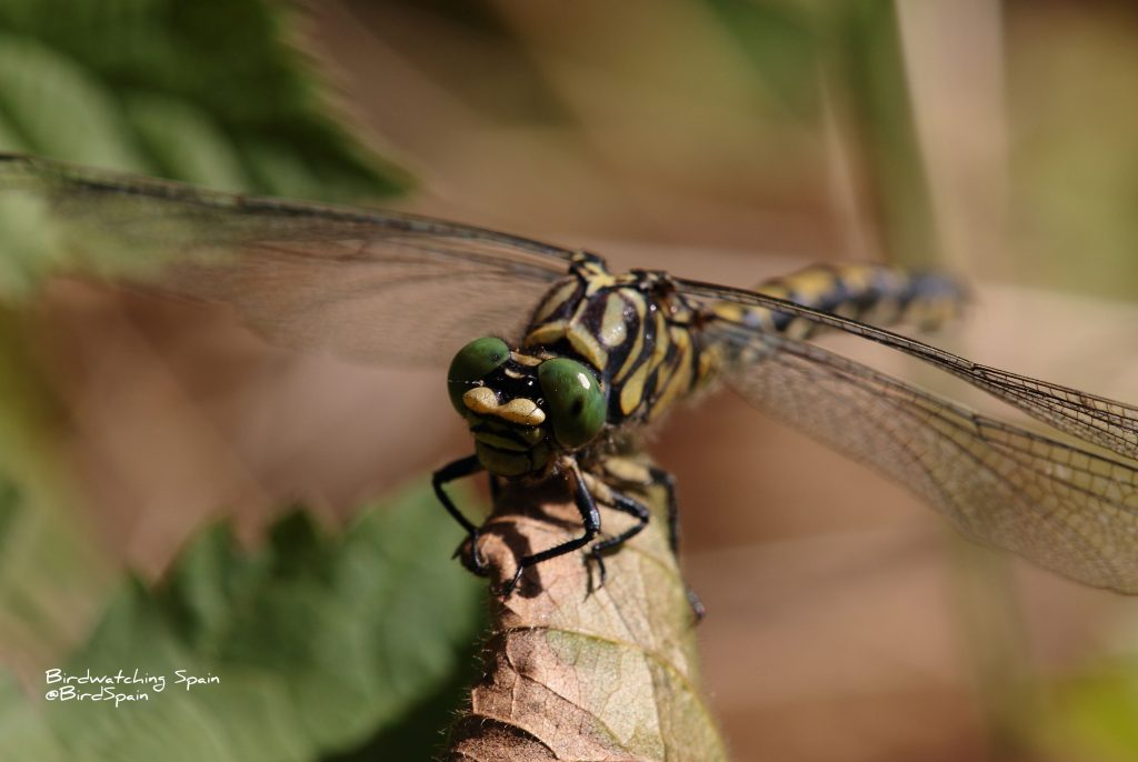 small pincertail-dragonflies tours in Spain