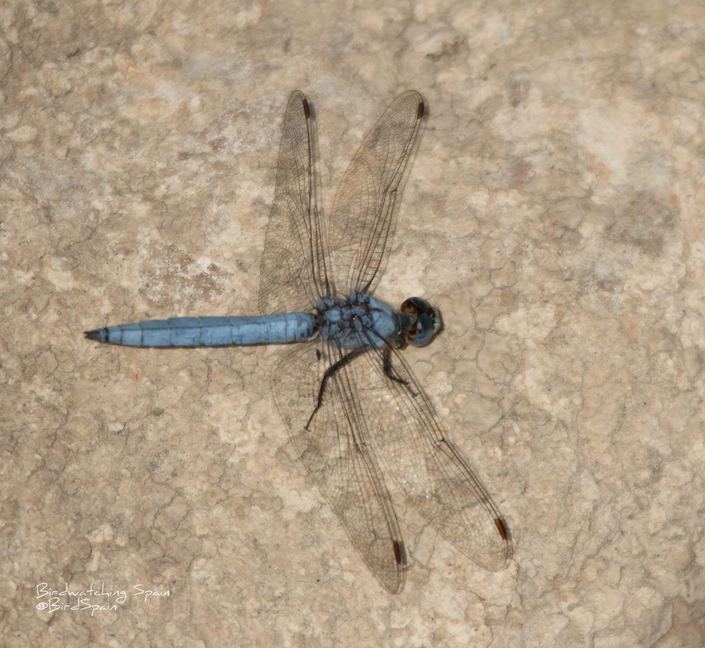 dragonfly tour-Southern skimmer