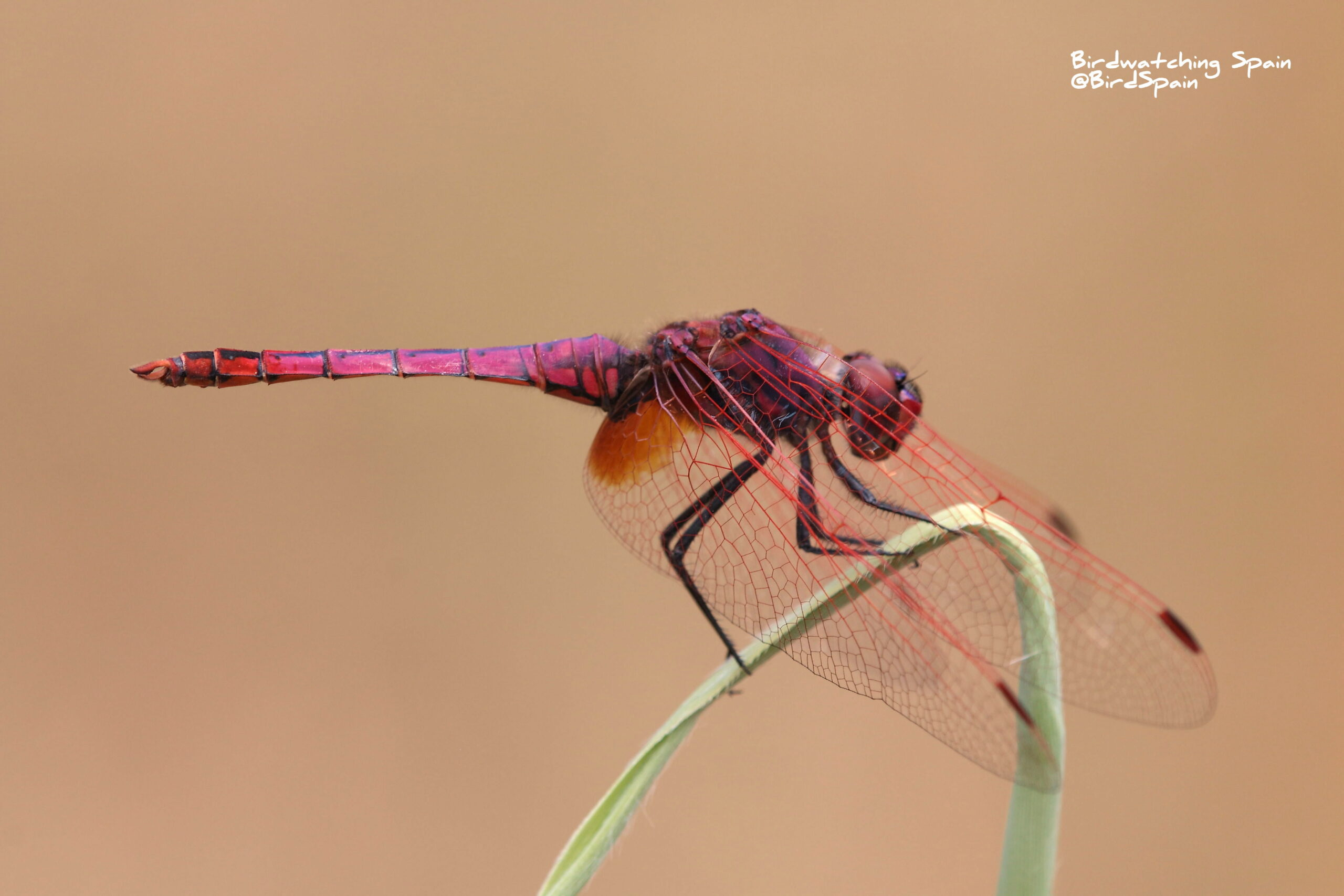 violet dropwing-dragonflies tours in Spain