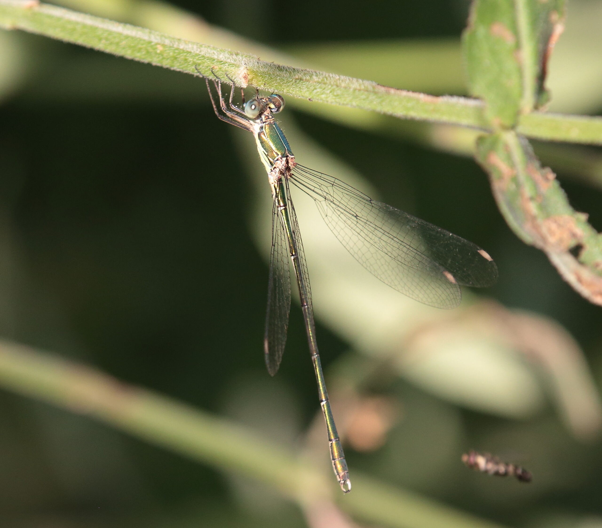 Western willow spreadwing-dragonfly tours