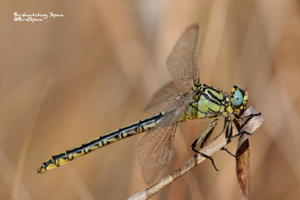 Yellow cluntail-dragonfly tours in Spain
