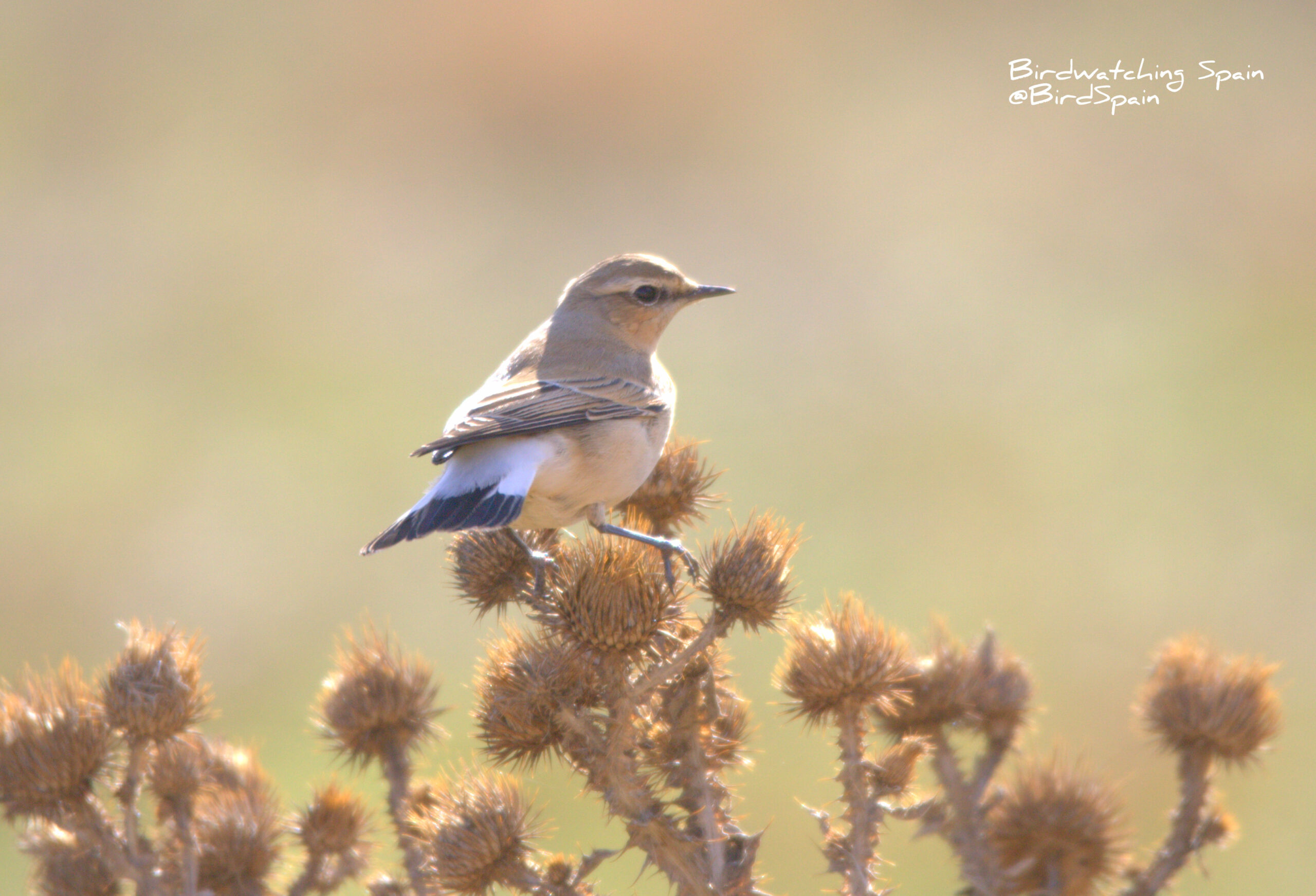 Gallocanta trip report-wheatear