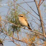 Isabelline Shrike-Albufera de Valencia in winter