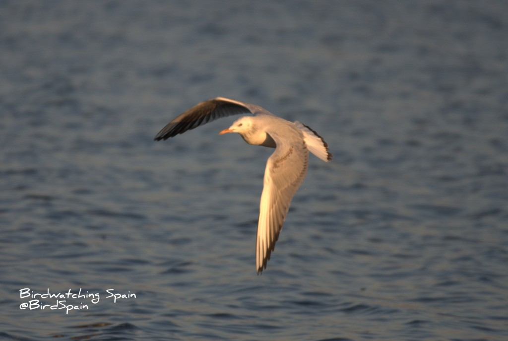 slender billed gull-Spain