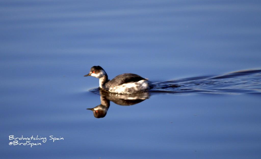 birding benidorm-blavk-necked grebe