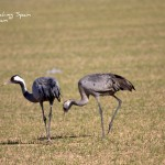 Common Cranes-Sierra de Guara