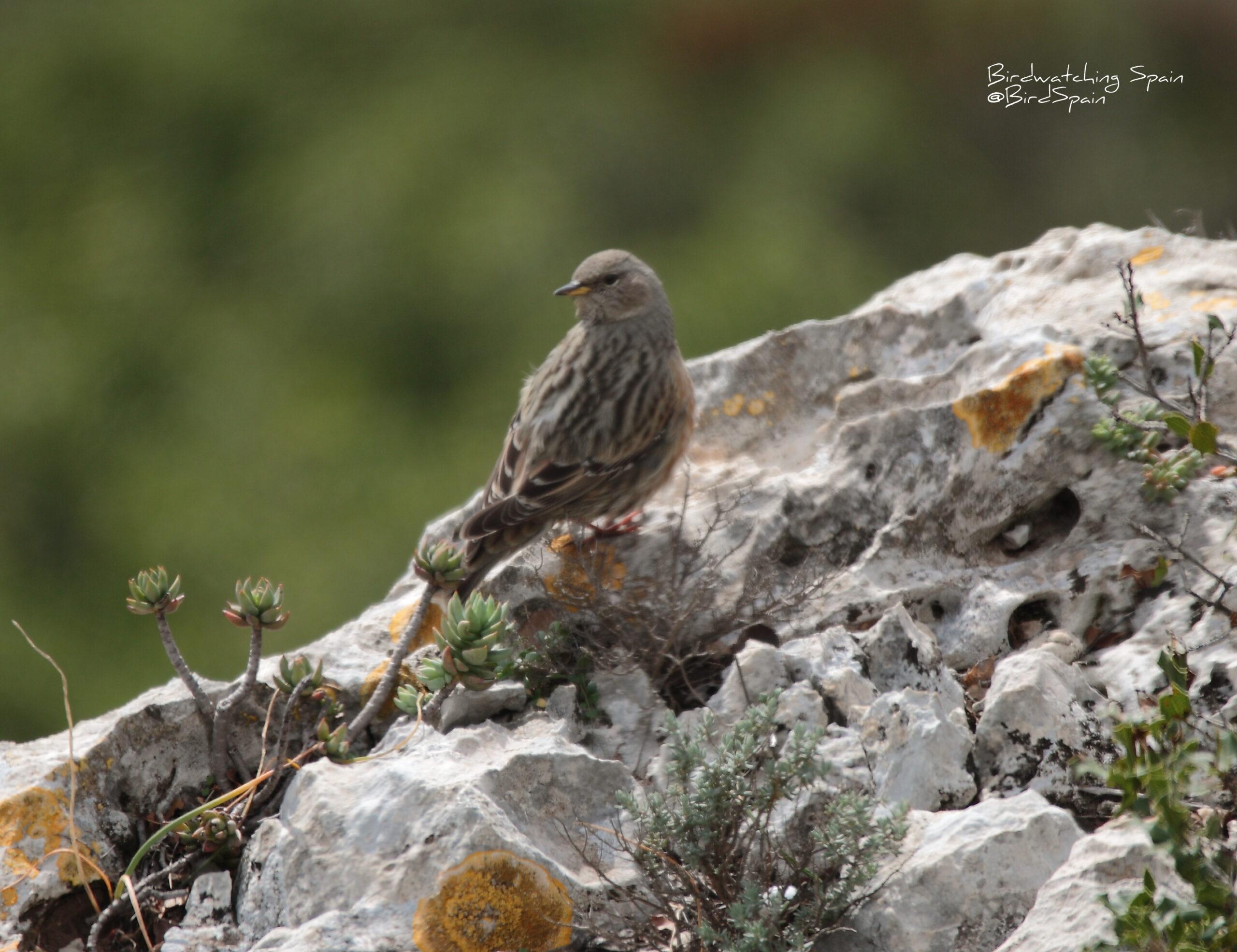 ver aves en la marjal de Pego-Acentor alpino