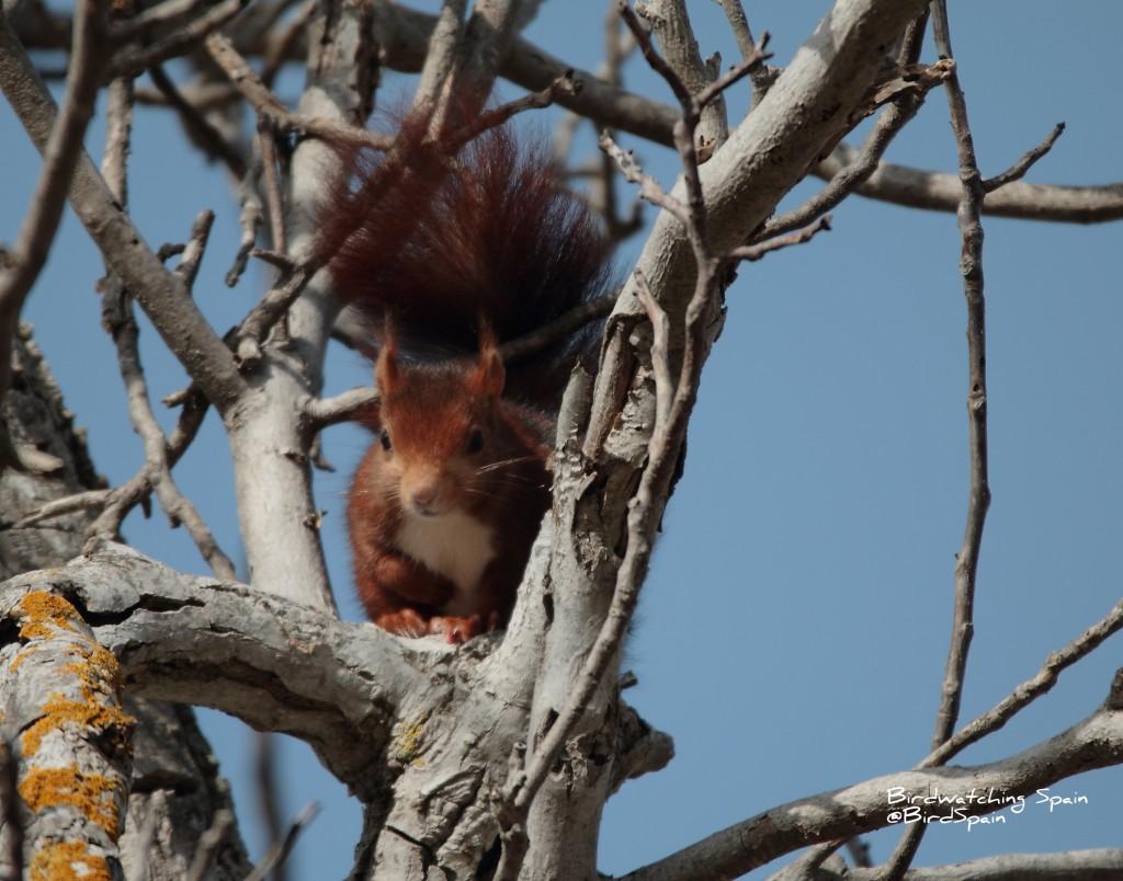 Red Squirrel-bird watching Cazorla