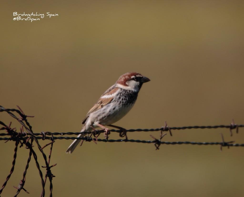 Spanish Sparrow-birds of Donana