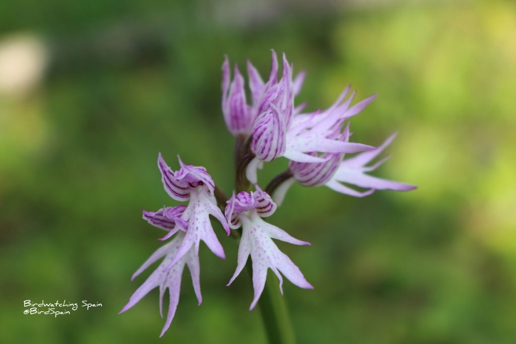 naked-man orchid