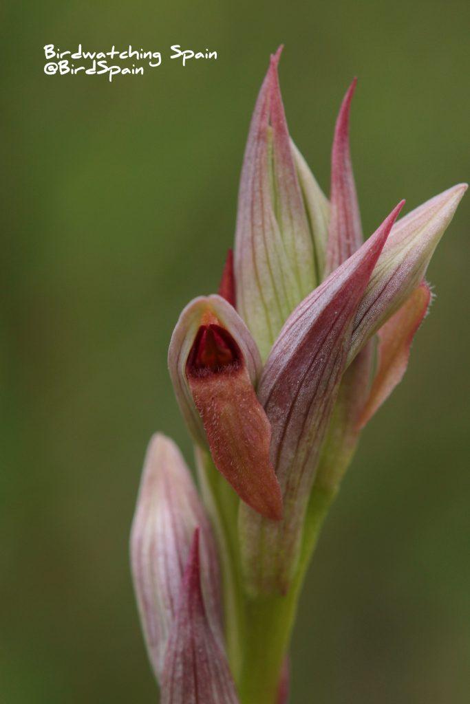 orchids tours Spain