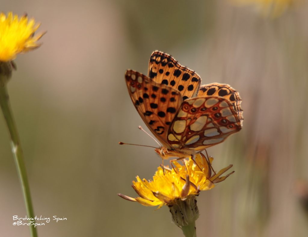 Queen of Spain Fritillary