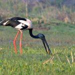 Jaribú asiático-viaje ornitológico a la India