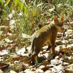 gato de la jungla