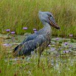 Shoebill-viaje ornitológico Uganda