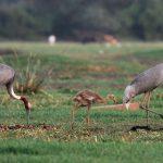 Grullas sarus-viaje ornitológico a la India