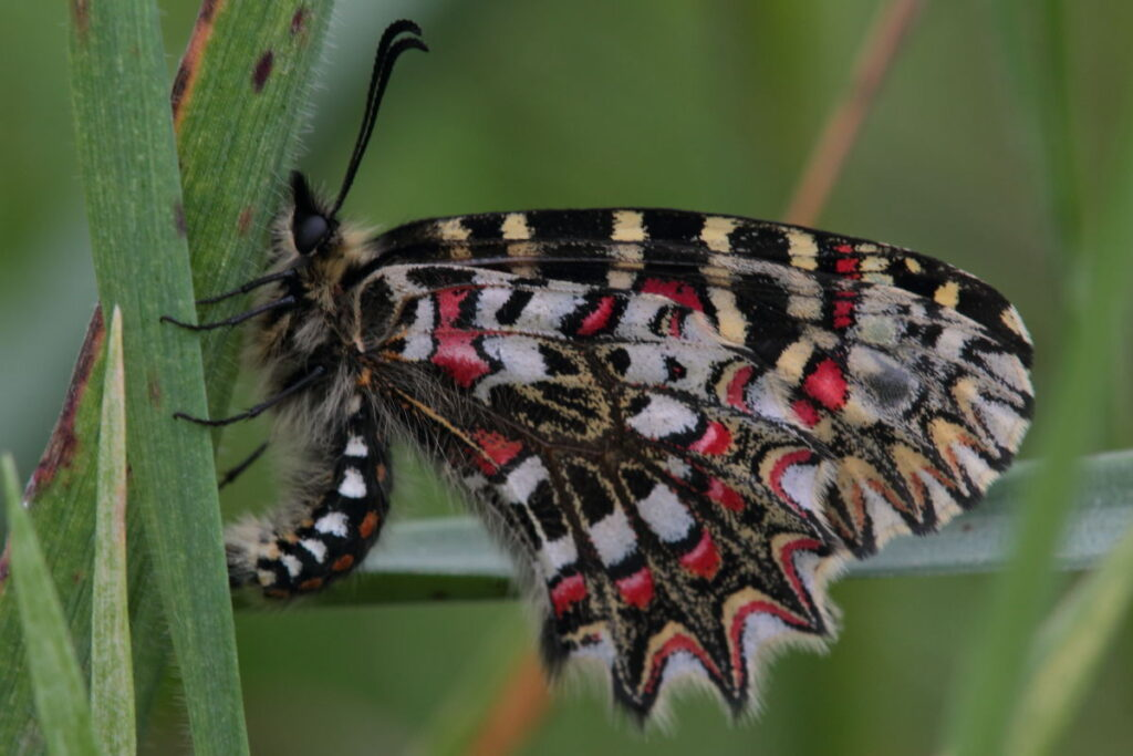 Spanish Festoon-butterflies of Costa Blanca