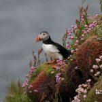 frailecillo-excursión ornitológica a Escocia