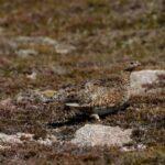 Perdiz nival-lagopodo alpino en Escocia