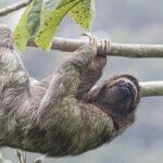 Perezoso de tres dedos-viaje de naturaleza a Costa Rica