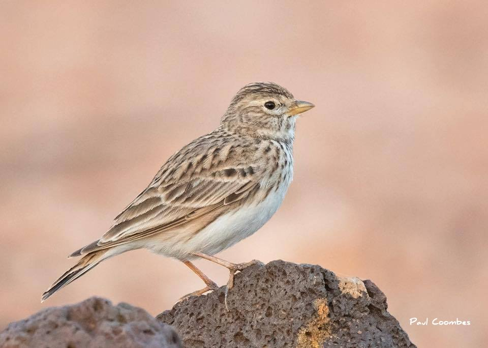 steppe birds in Alicante