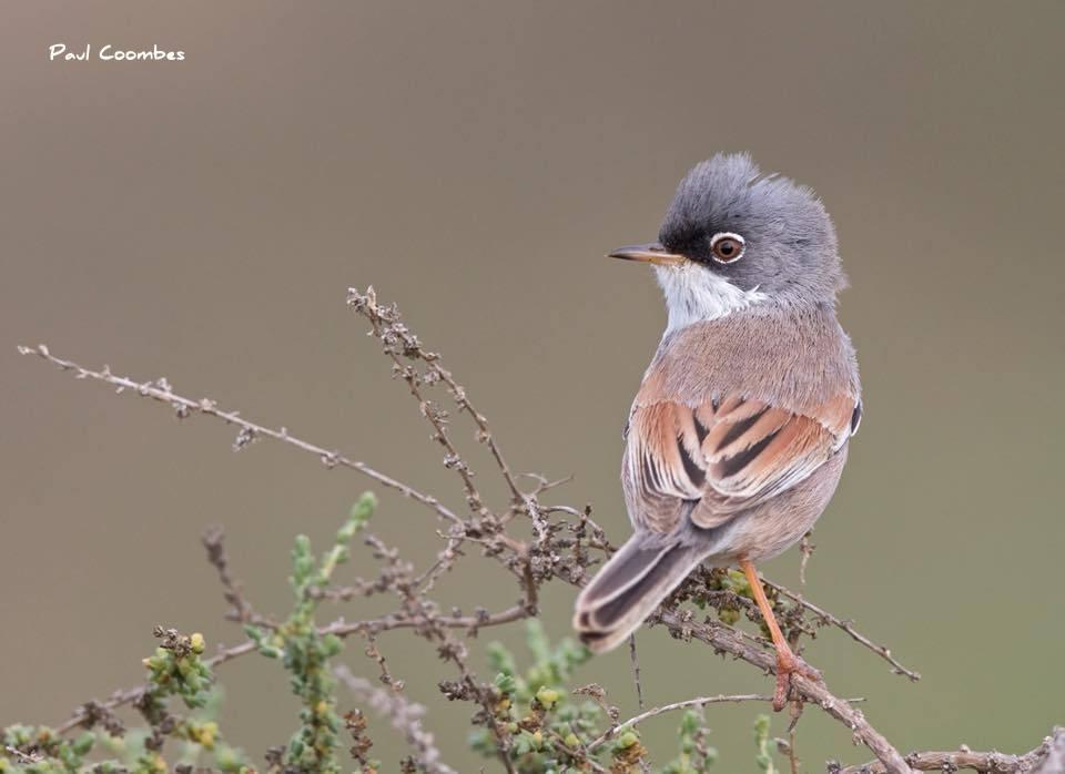 Spectacled Warbler-birding Valencia Alicante