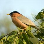 crónica del viaje ornitológico a India