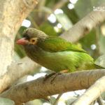 Barbudo cabecigrís-ver aves en India