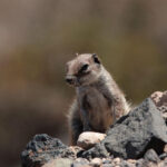 Barbary squirrel-wildlife trip report to the Canary islands