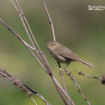 wildlife report Canary islands-Canary chiffchaff