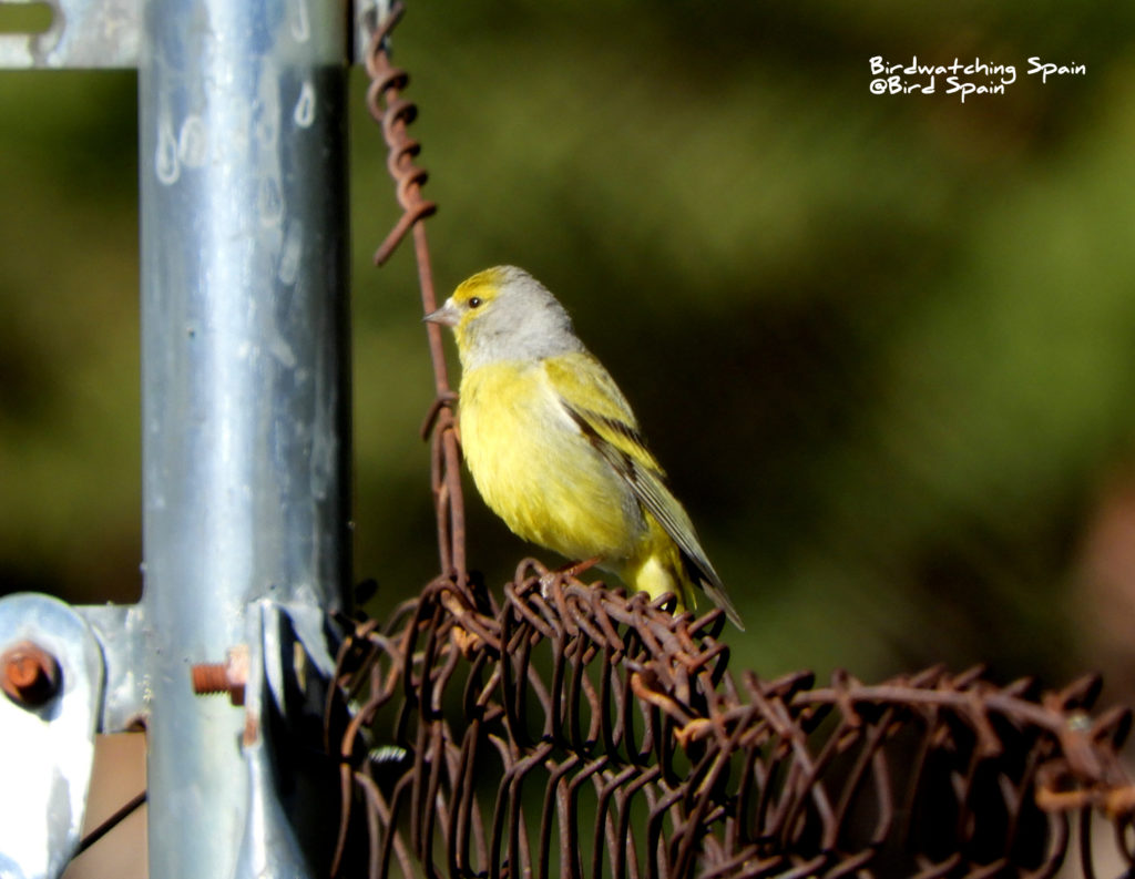 Citril Finch birding Pyrenees